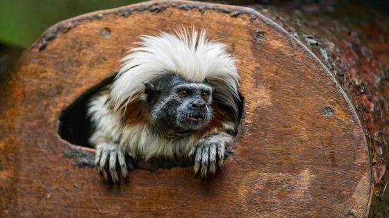 Cotton-top tamarin wallpaper