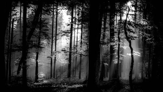 Monochrom Woodland wallpaper