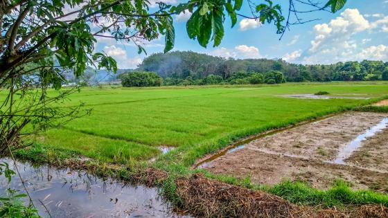 Growing Paddy Fields wallpaper
