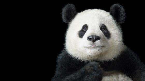 Panda portrait wallpaper