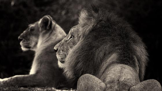 Black and white lion and lioness photo wallpaper
