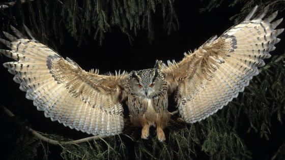 Owl in flight wallpaper