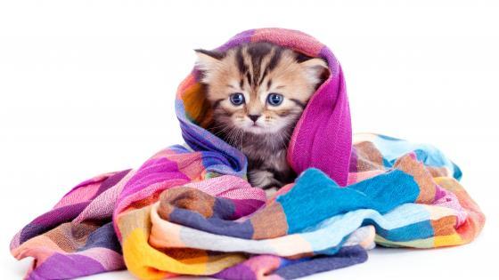 Kitten in a blanket wallpaper
