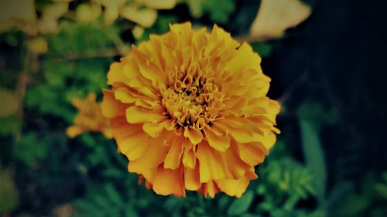 Sayepatri flower as local name of nepal wallpaper