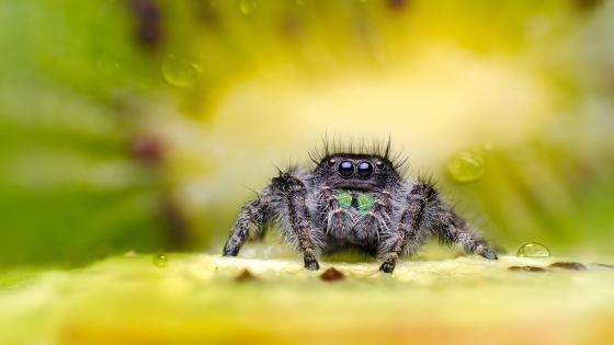 Jumping spider macro photography wallpaper