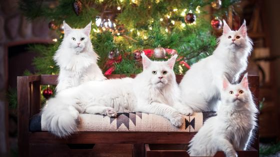 White cats in front of the Christmas tree wallpaper