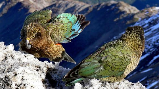 Kea birds on snowy mountain wallpaper