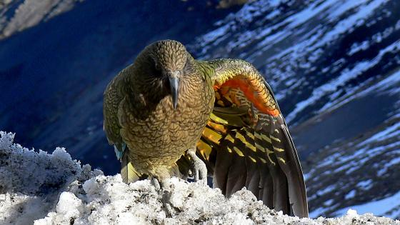 Kea on snowy mountain wallpaper