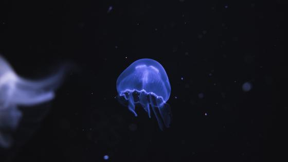 Jellyfish in Ozeaneum Stralsund (Germany) wallpaper