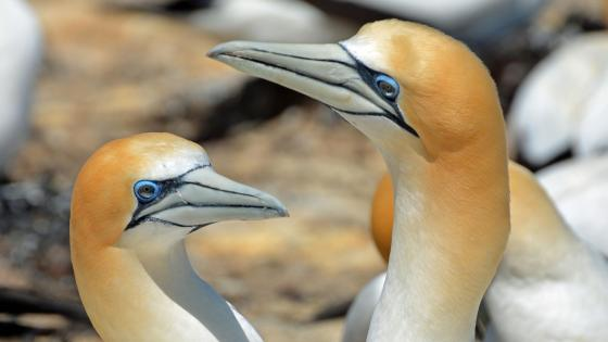 Morus birds wallpaper