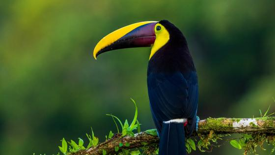 Toucan sitting on a branch wallpaper