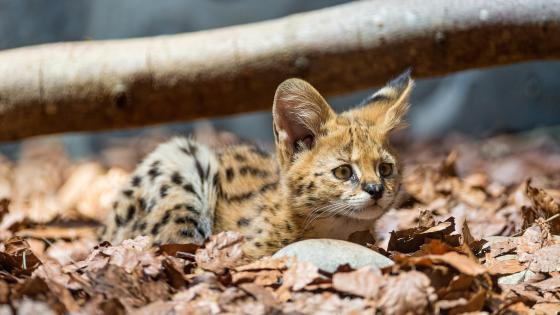 Baby serval among leaves wallpaper