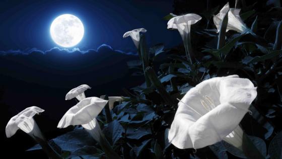 Moonflowers in the moonlight wallpaper