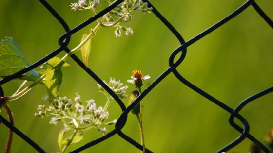 Fence VS Flowers wallpaper