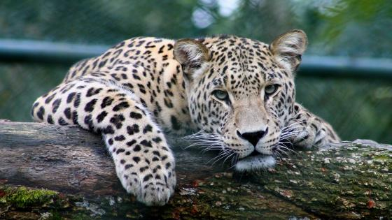 Persian leopard wallpaper