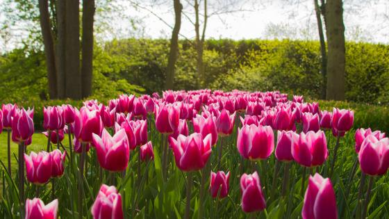 Pink Tulips in Keukenhof tulip garden wallpaper