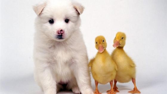 Dog and duck wallpaper