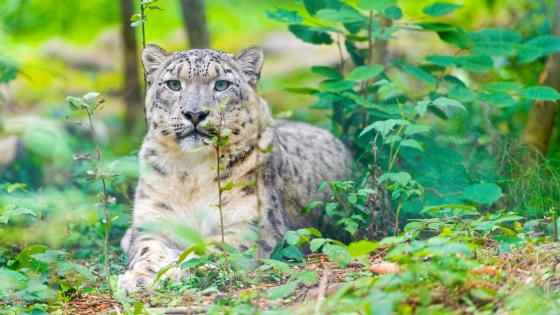 Snow leopard in the forest wallpaper