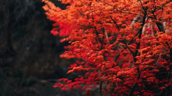 Red deciduous tree wallpaper