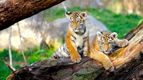 Tiger cubs on a tree wallpaper