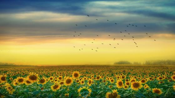 Endless sunflower field wallpaper