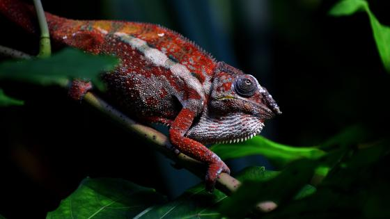 Red Chameleon wallpaper