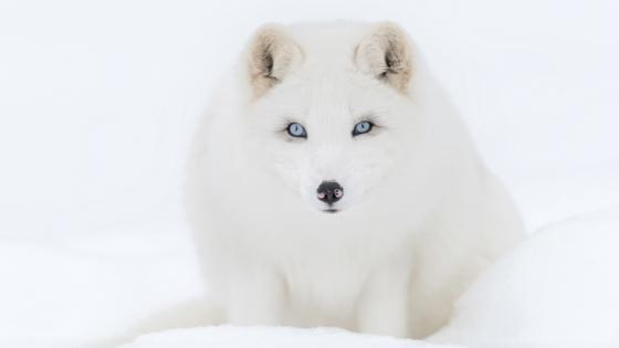 Arctic fox on snow wallpaper