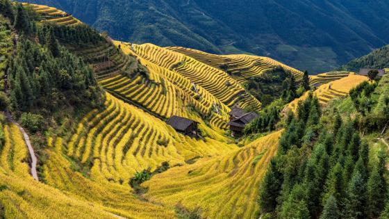 Terraced rice field wallpaper