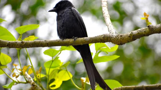 Crow on a tree branch wallpaper