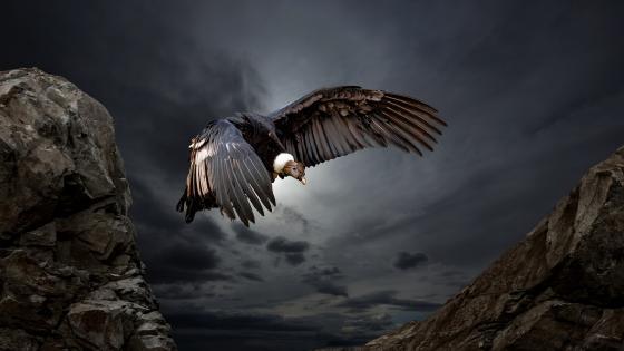 Andean Condor wallpaper