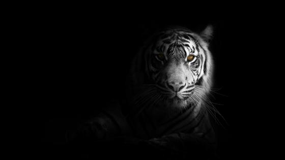 Tiger in shadow wallpaper