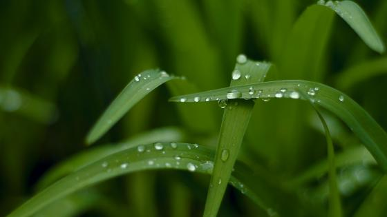 Dewdrops on green grass wallpaper