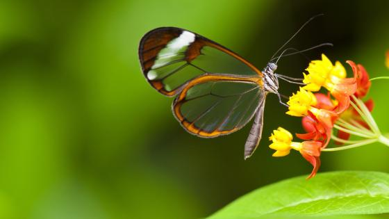 Butterfily with transparent wings wallpaper