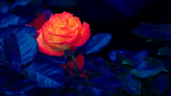 Colourful rose wallpaper