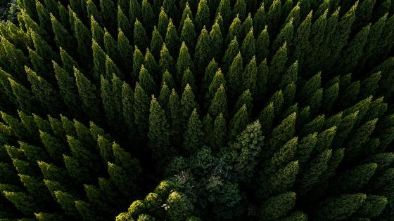 Evergreen forest drone view wallpaper