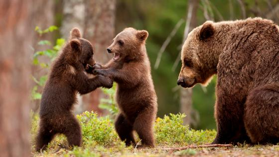 Baby bear fight wallpaper