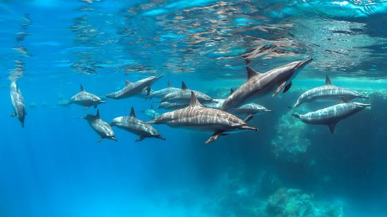 Spinner dolphin pod wallpaper