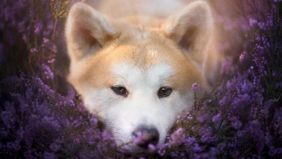 Akita dog lying between the purple flowers wallpaper