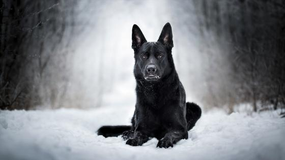 Black dog in the white snow wallpaper
