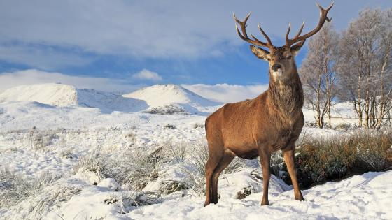 Scottish red deer standing in the snow wallpaper