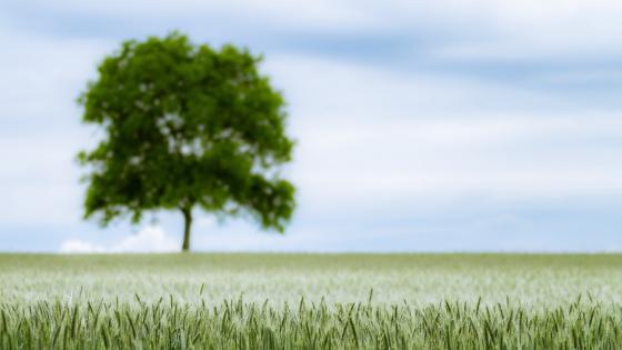Blurry lone tree in the wheat field wallpaper