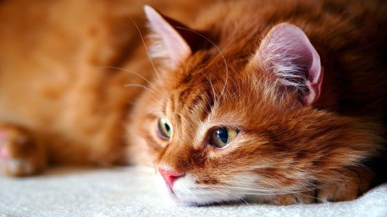 Cat close up wallpaper