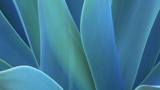 Agave leaf illustration wallpaper