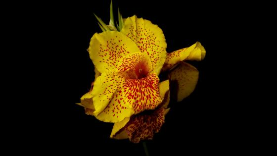 Yellow orchid wallpaper