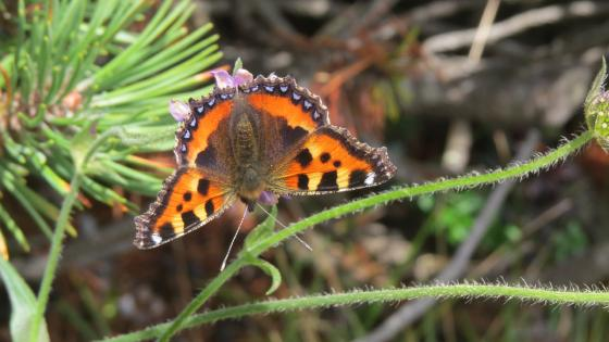 small tortoiseshell (butterfly) wallpaper