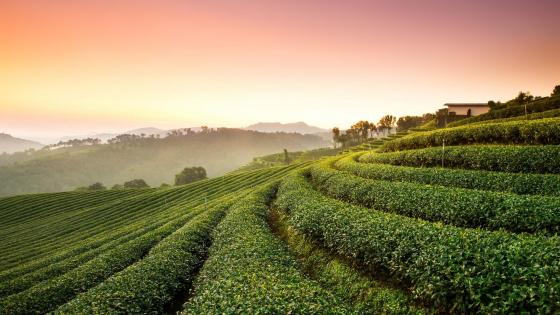 Tea plantation wallpaper