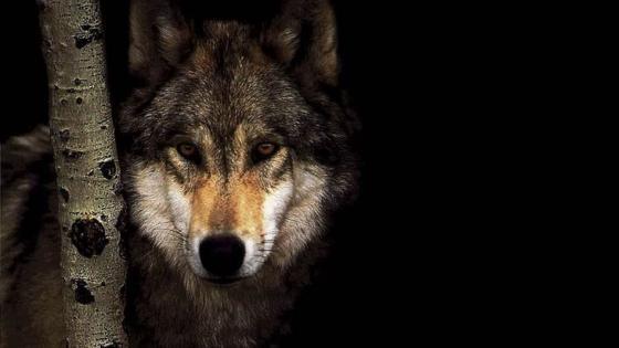 Brown wolf wallpaper