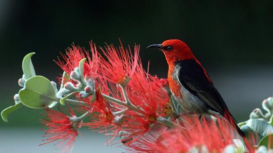 Red bird on red flower wallpaper
