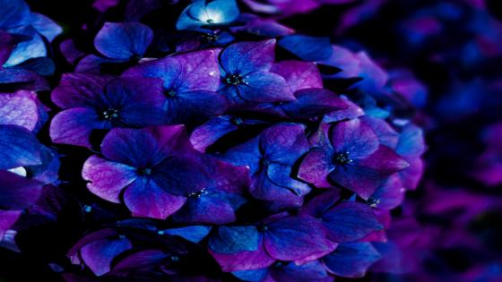 Blue hydrangea wallpaper