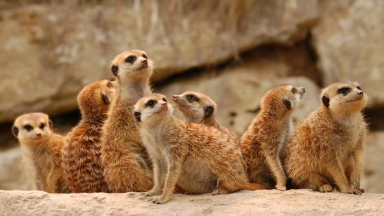 Meerkat group wallpaper
